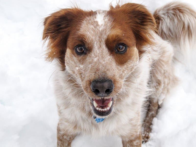 Cão de sorriso na neve fotografia de stock