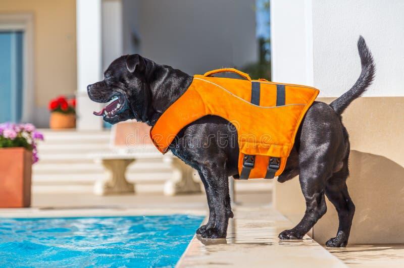 Cão de Staffordshire bull terrier em uma posição alaranjada do colete salva-vidas fotografia de stock royalty free