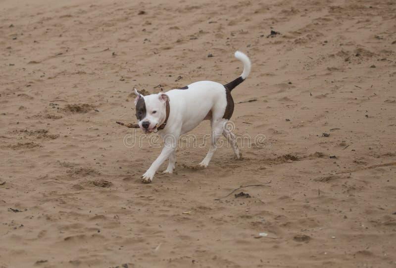 Cão de Staffordshire bull terrier na praia foto de stock