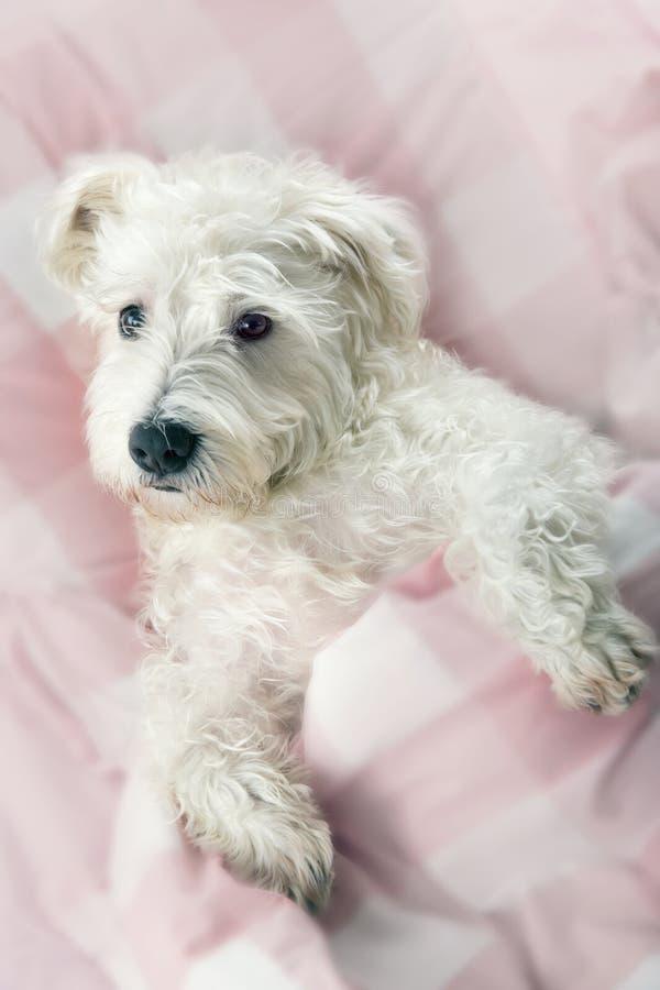 Cão de Terrier fotos de stock royalty free