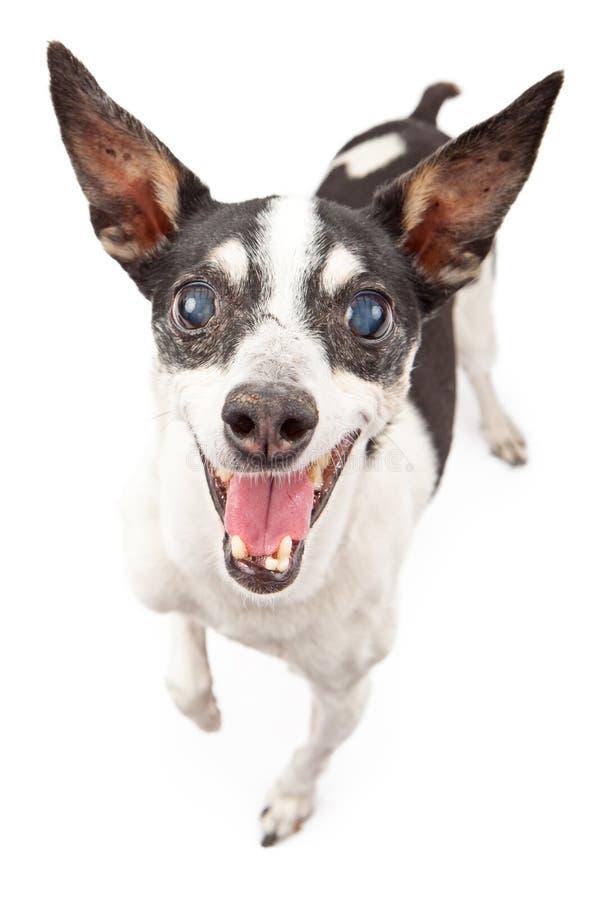 Cão de Terrier de rato com face feliz foto de stock