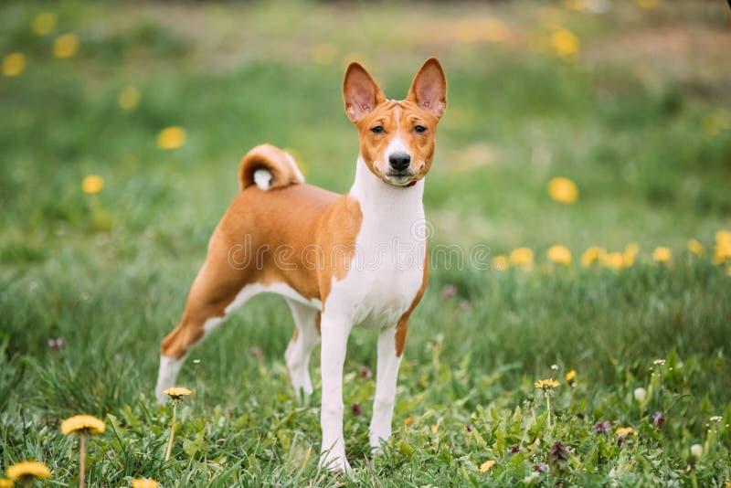 Cão de Terrier do Kongo de Basenji O Basenji é uma raça do cão de caça imagens de stock
