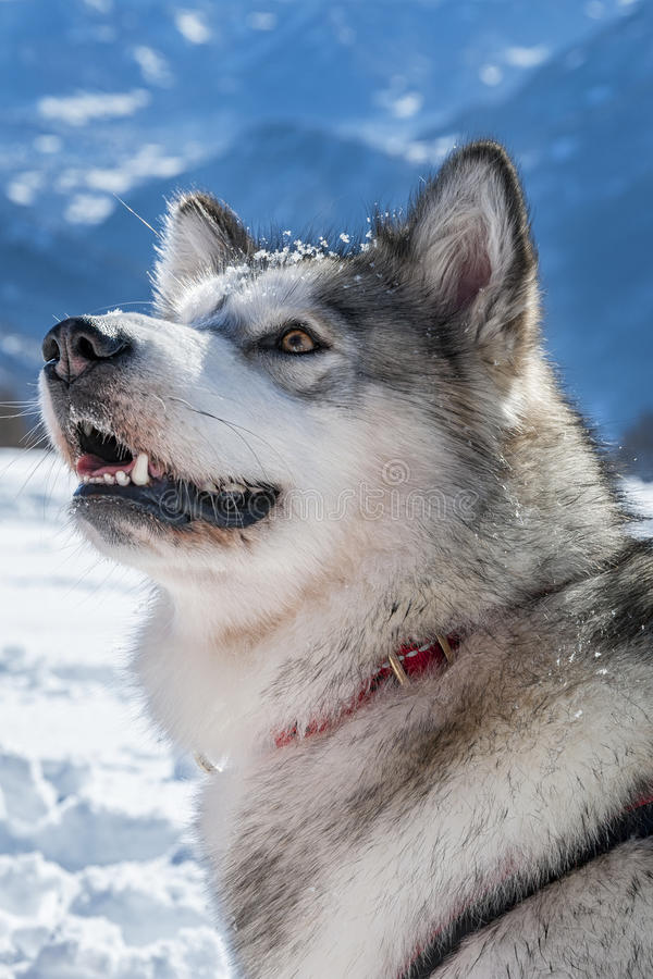 Cão de trenó imagens de stock royalty free