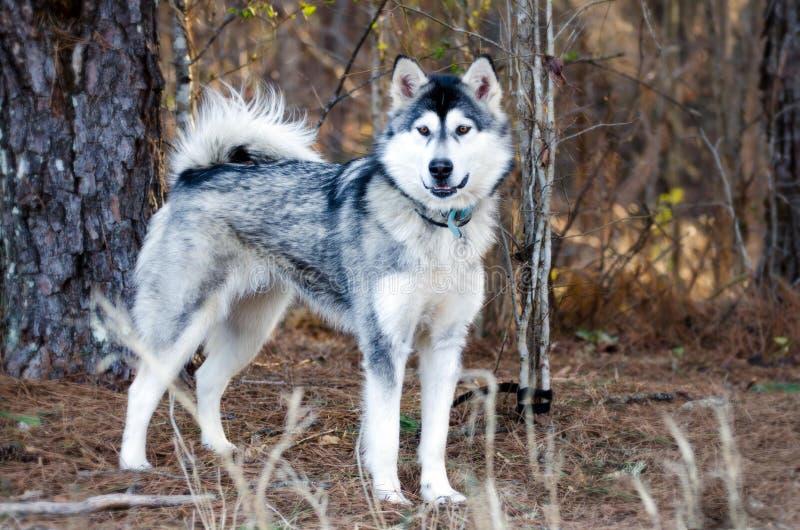 Cão de trenó do cão de puxar trenós Siberian de Malamute do Alasca imagens de stock