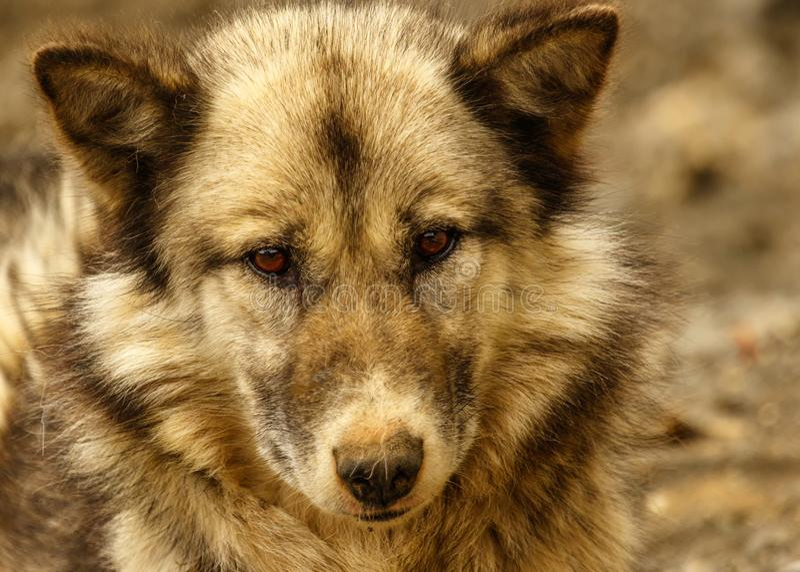 Cão de trenó de Gronelândia fotografia de stock royalty free