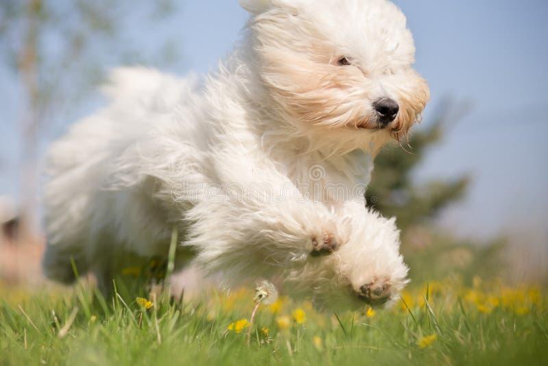 Cão de Tulear do algodão imagem de stock royalty free