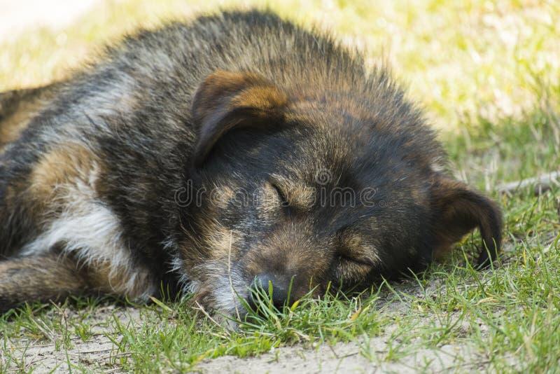 Cão de vagueamento desgrenhado muito velho que dorme pacificamente na grama foto de stock