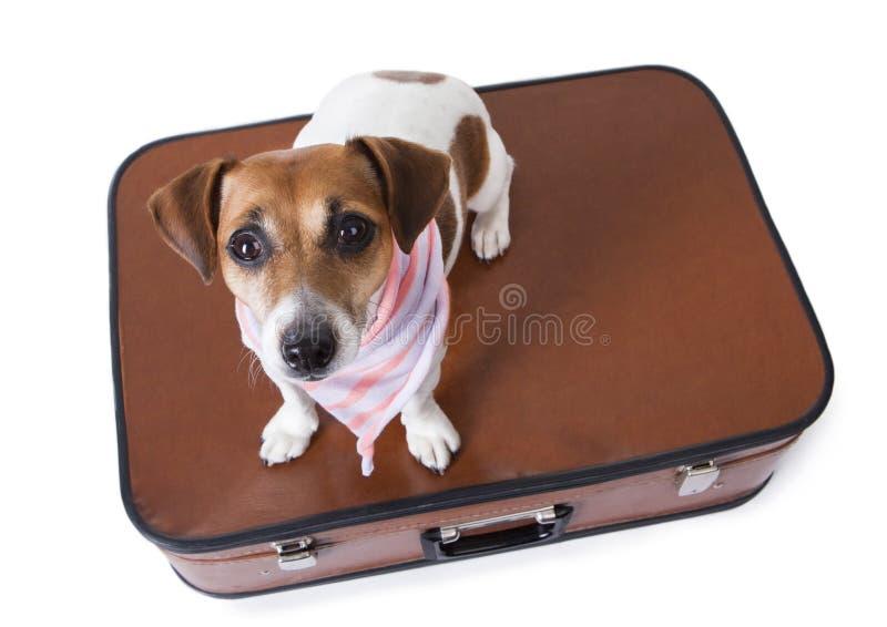Cão de viagem do terrier de russell do jaque imagens de stock