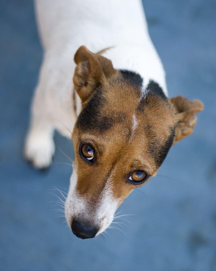 Cão de vista triste de Russel do jaque fotografia de stock royalty free