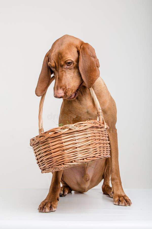 Cão de Vizsla com cesta fotos de stock