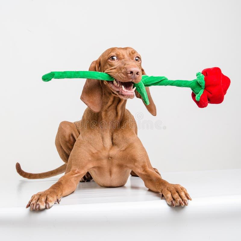 Cão de Vizsla com rosa do vermelho fotos de stock
