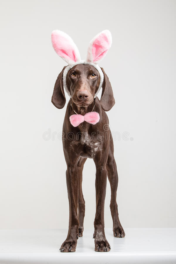 Cão de Vizsla como o coelhinho da Páscoa fotos de stock royalty free