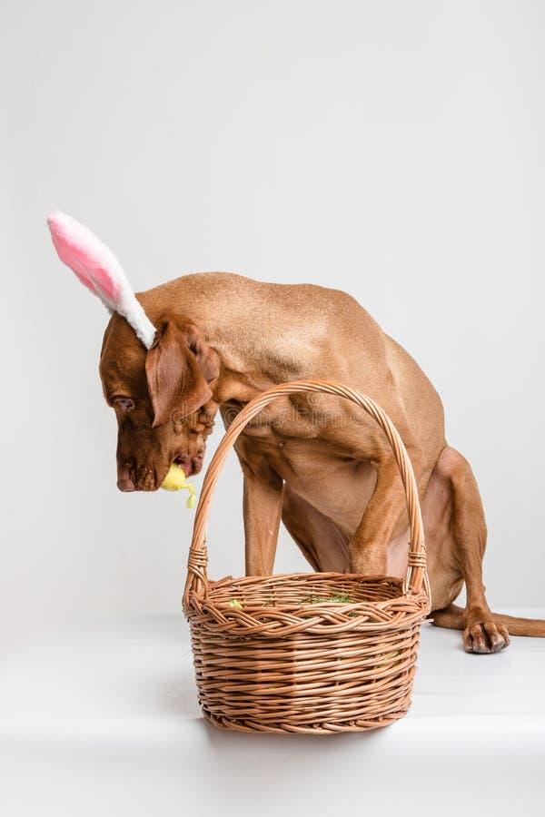 Cão de Vizsla como o coelhinho da Páscoa imagem de stock royalty free