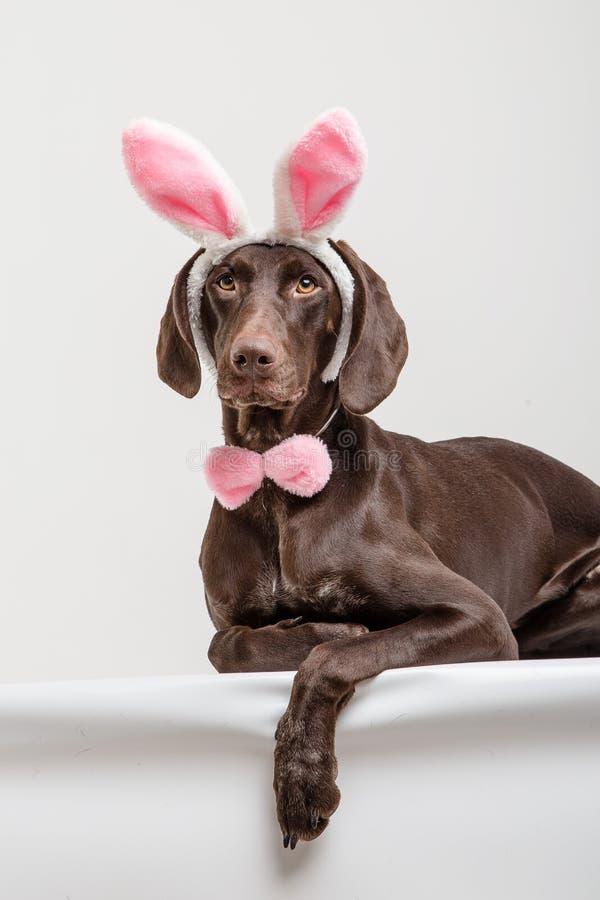 Cão de Vizsla como o coelhinho da Páscoa fotos de stock