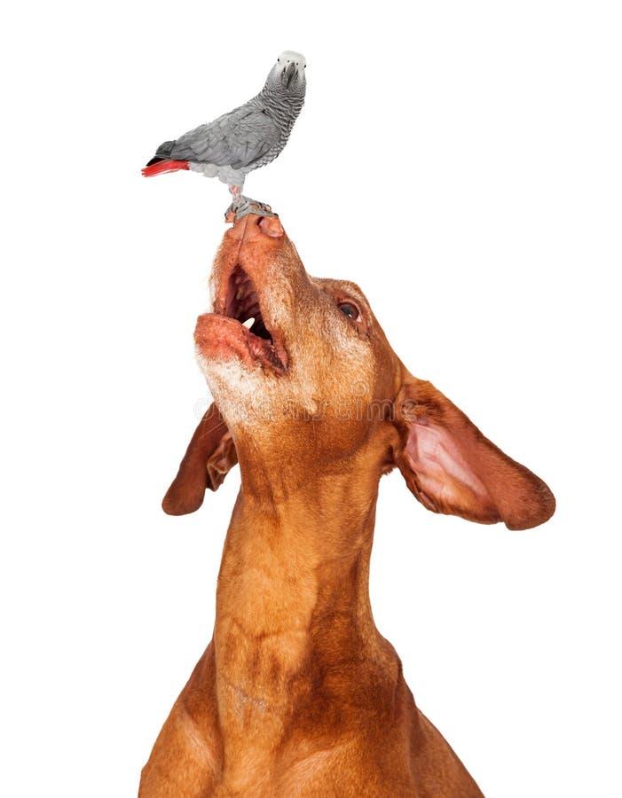 Cão de Vizsla que olha acima em um pássaro em seu nariz fotografia de stock