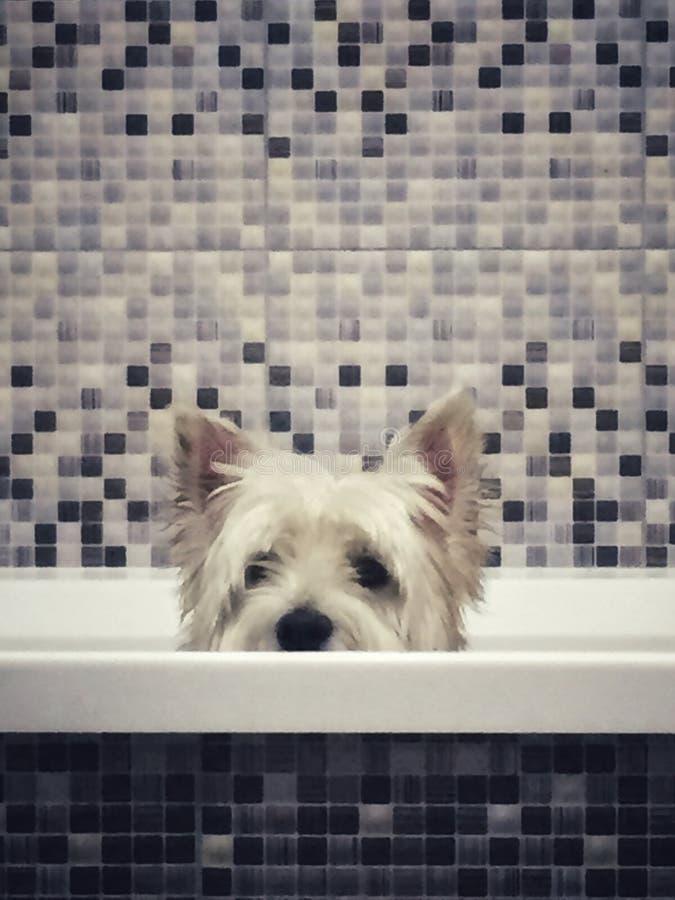 Cão de Weatie fotos de stock