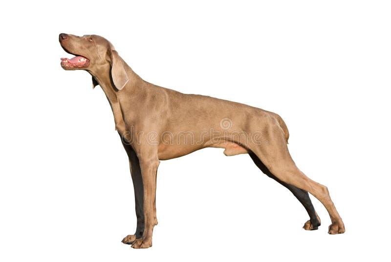 Cão de Weimaraner isolado no fundo branco imagens de stock royalty free