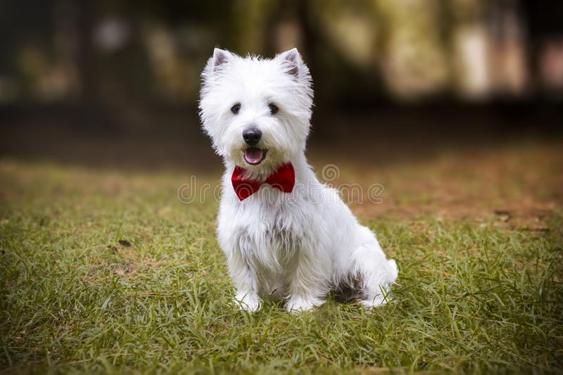 Cão de Westie que senta-se na grama ao lado dos pinheiros imagem de stock royalty free