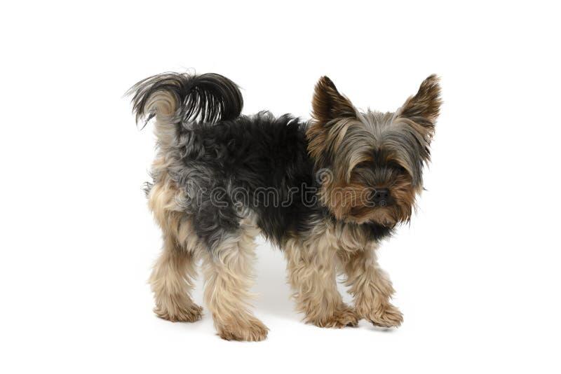 Cão de York em um grupo branco do fundo foto de stock royalty free