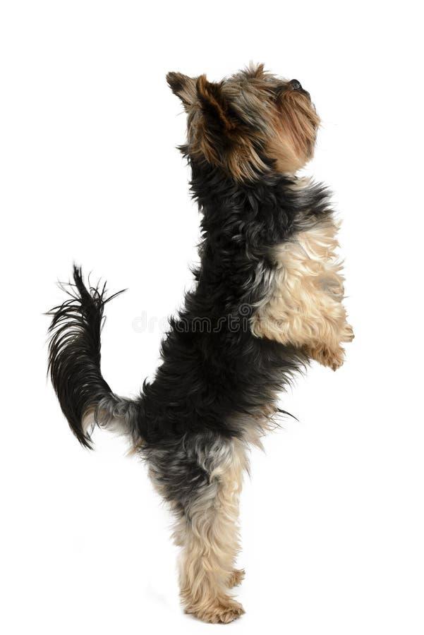 Cão de York em um grupo branco do fundo imagens de stock