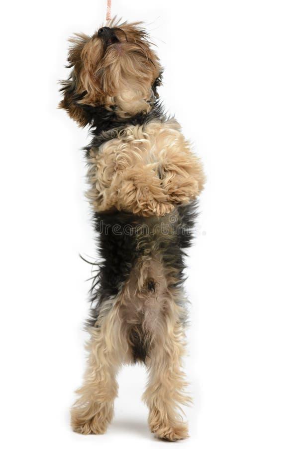 Cão de York em um grupo branco do fundo fotos de stock royalty free
