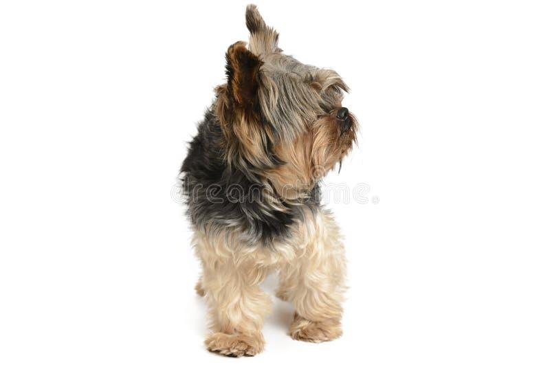 Cão de York em um grupo branco do fundo imagem de stock royalty free