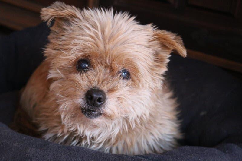 Cão de Yorkshire foto de stock