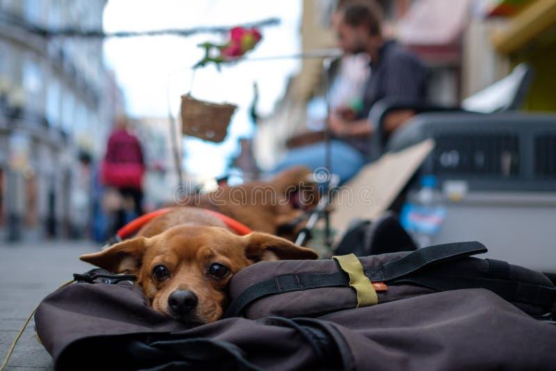 Cão deficiente no Las Palmas fotografia de stock