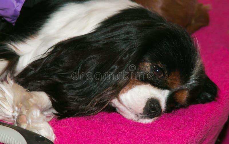 Cão descuidado bonito do spaniel de rei Charles fotos de stock