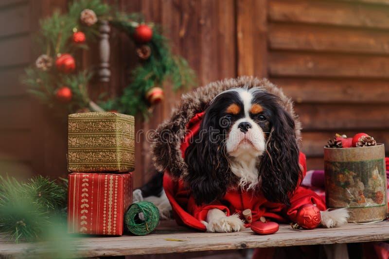 Cão descuidado bonito do spaniel de rei Charles no revestimento vermelho que comemora o Natal na casa de campo acolhedor imagem de stock