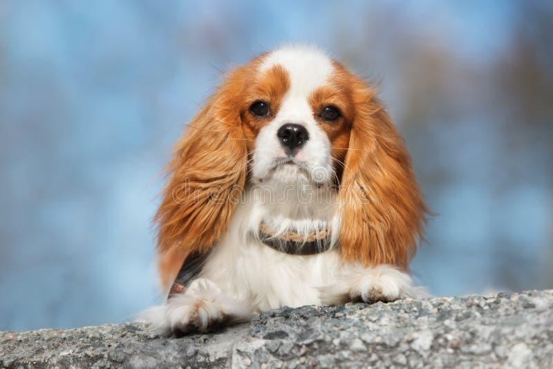 Cão descuidado do spaniel de rei Charles fora imagens de stock