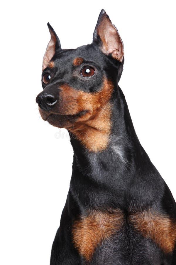 Cão diminuto de Pincher fotografia de stock royalty free