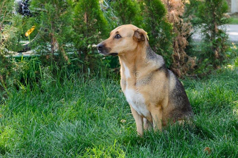 cão disperso Brown-branco que senta-se na grama fotografia de stock royalty free
