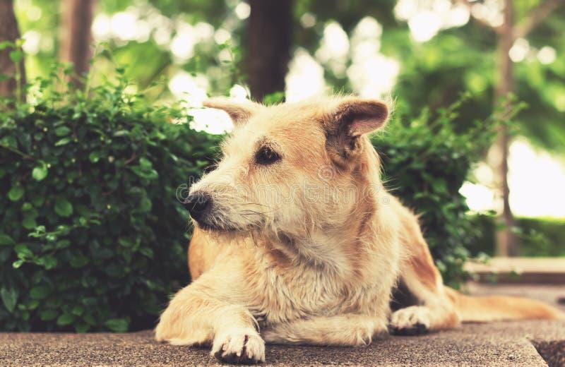 Cão disperso com os olhos tristes que olham ausentes e que encontram-se no parque vintage imagens de stock royalty free
