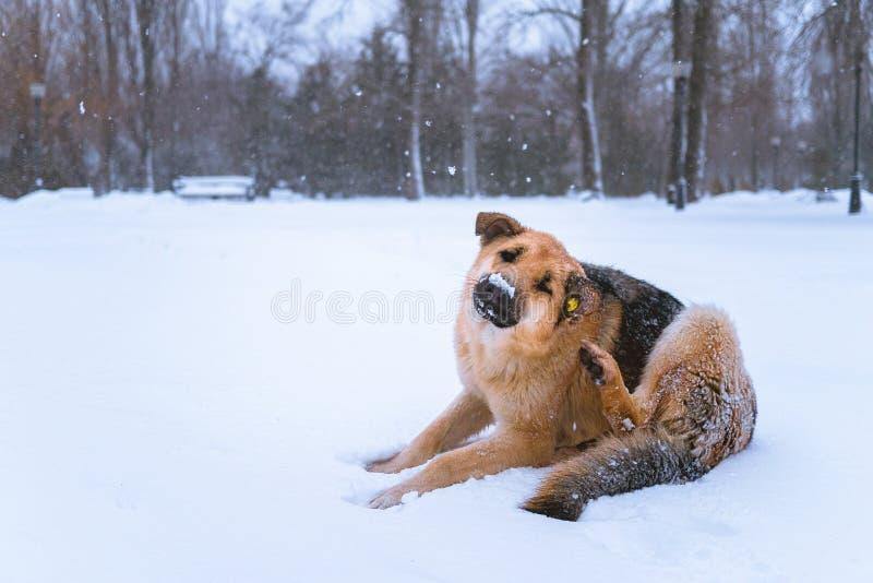 Cão disperso com uma microplaqueta que encontra-se na neve imagens de stock royalty free