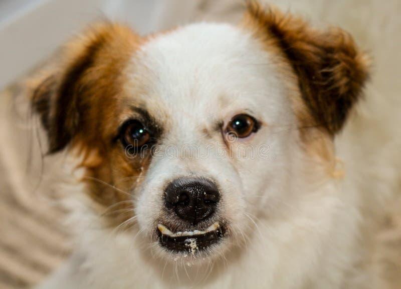 Cão disperso desabrigado imagens de stock