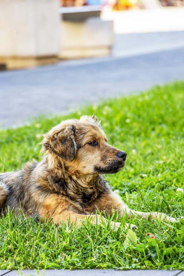 Cão disperso juvenil bonito que encontra-se em um gramado fotografia de stock royalty free