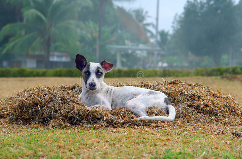 Cão disperso na vila tropical fotografia de stock royalty free