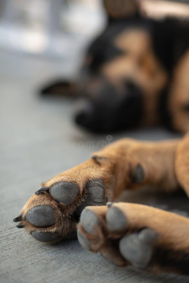 Cão disperso Paw Close acima imagens de stock