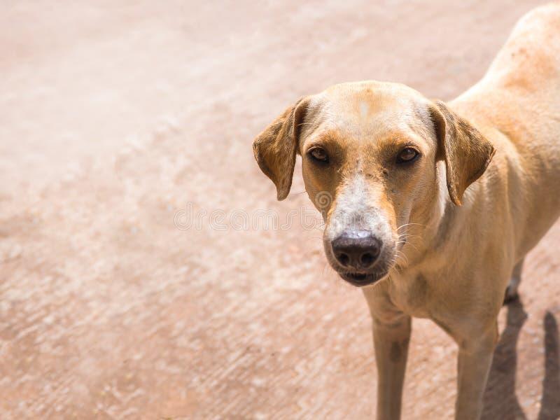 Cão disperso tailandês Apenas alimento de espera da vida na rua em Tailândia fotografia de stock