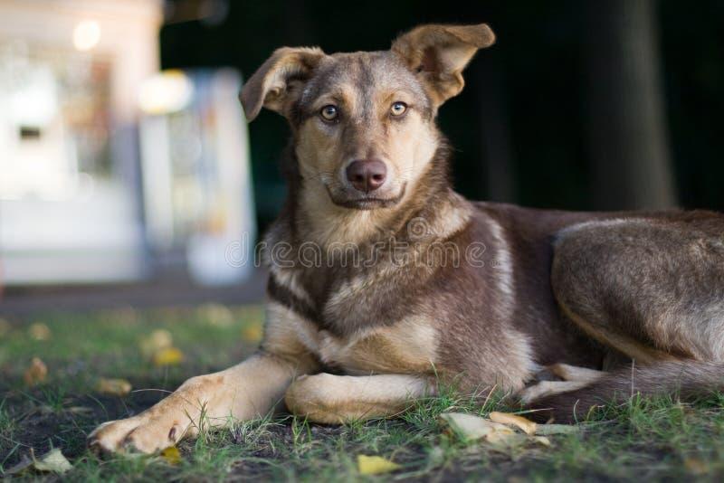 Cão disperso triste imagens de stock royalty free