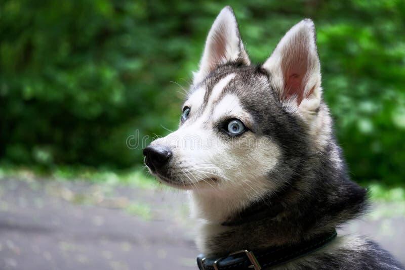 Cão do Alasca de Klee Kai Mini cão de puxar trenós foto de stock