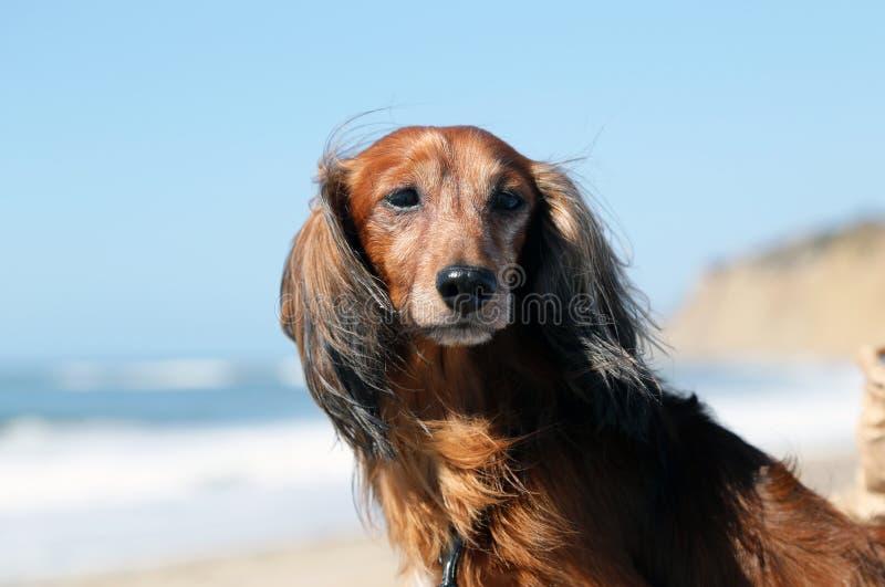 Cão do bassê fotografia de stock