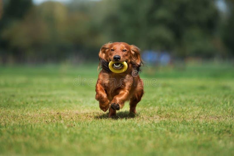 Cão do bassê de Brown que corre fora imagens de stock