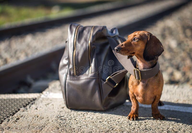 Cão do bassê que senta-se perto da trouxa na plataforma imagens de stock