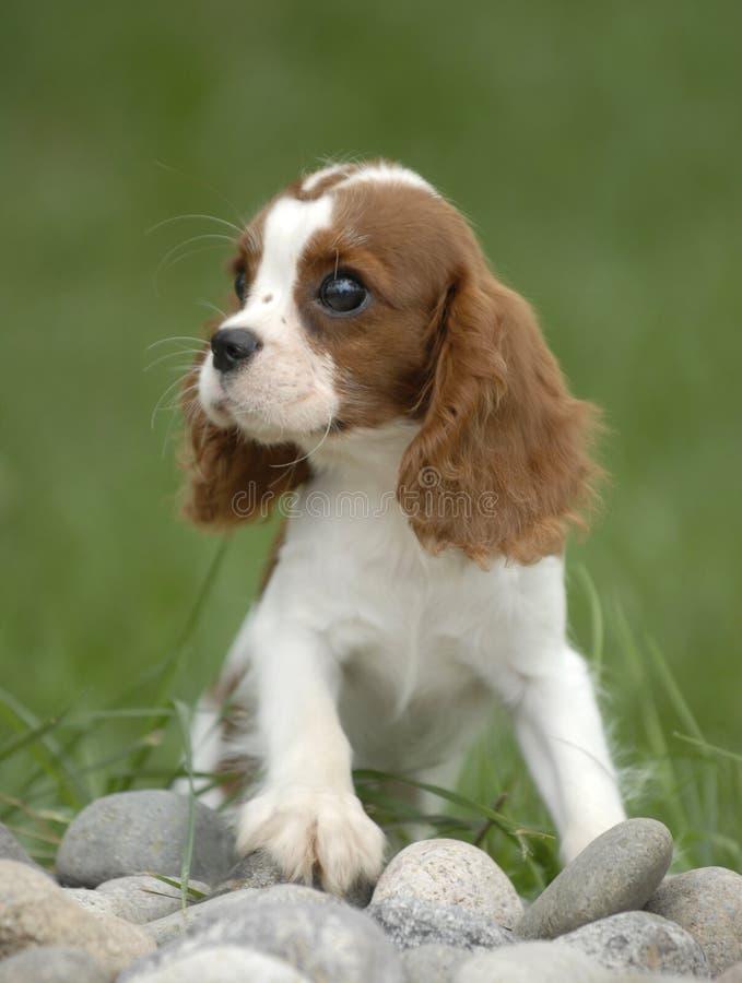 cão do bebê fotografia de stock royalty free