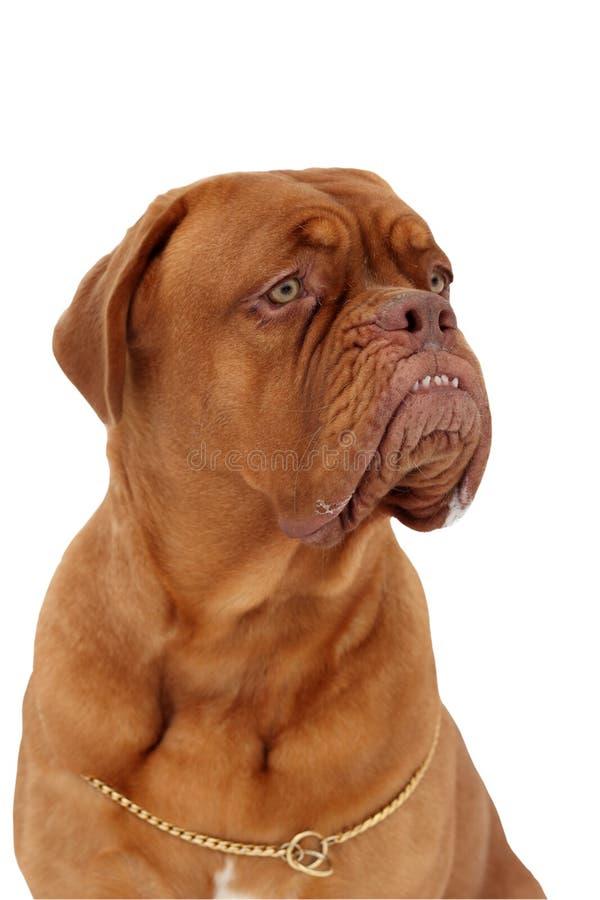 Cão do Bordéus imagem de stock royalty free