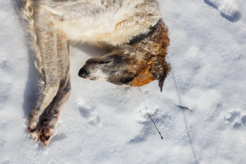 Cão do borzói do russo que encontra-se na neve Cabeça do fim do cão acima foto de stock royalty free