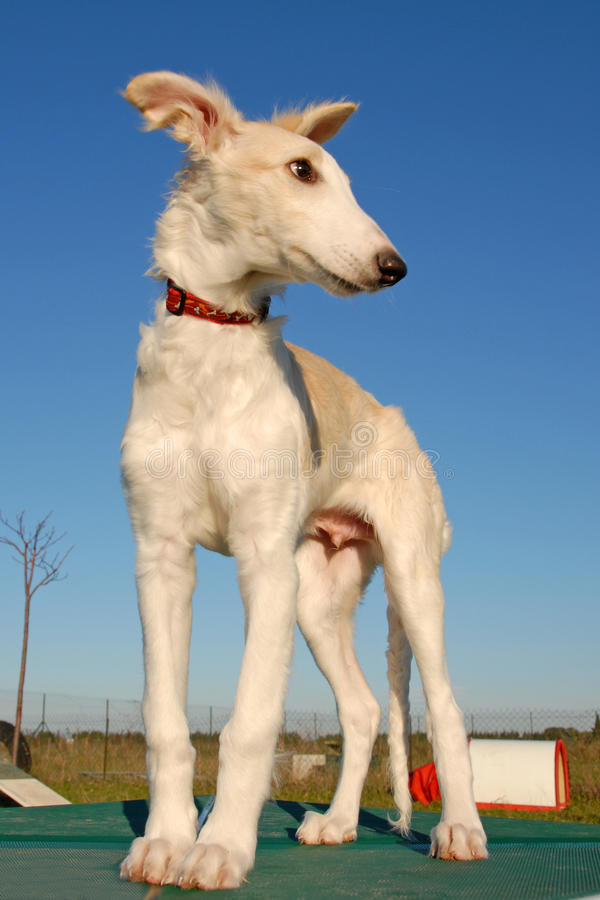 Cão do Borzoi do russo foto de stock