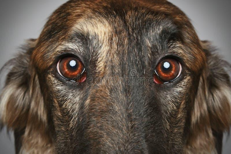 Cão do Borzoi do russo. Retrato do Close-up foto de stock royalty free